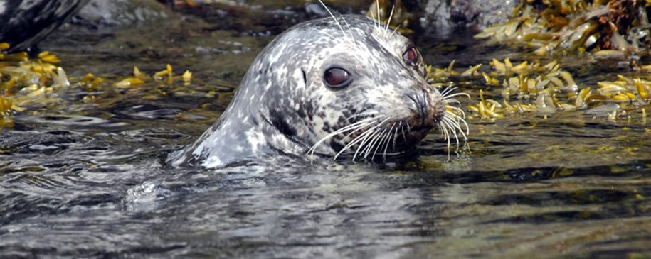 Harbor Seals and Orcas Whales in the San Juan Islands